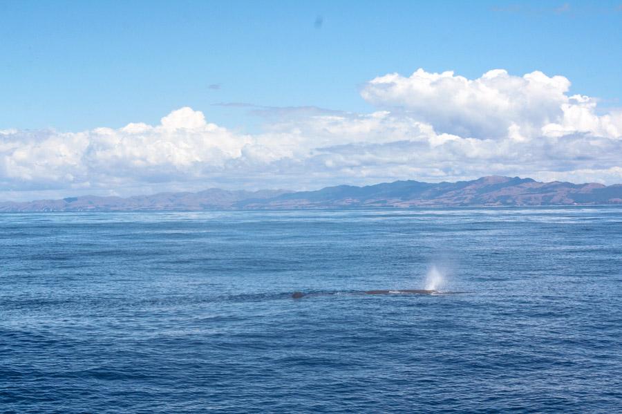 Kaikoura Whale Watching - Südinsel Neuseeland
