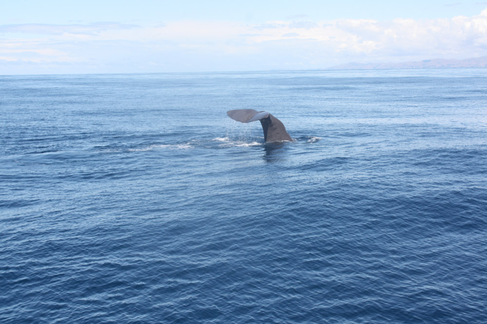 Pottwal Südpazifik Neuseeland