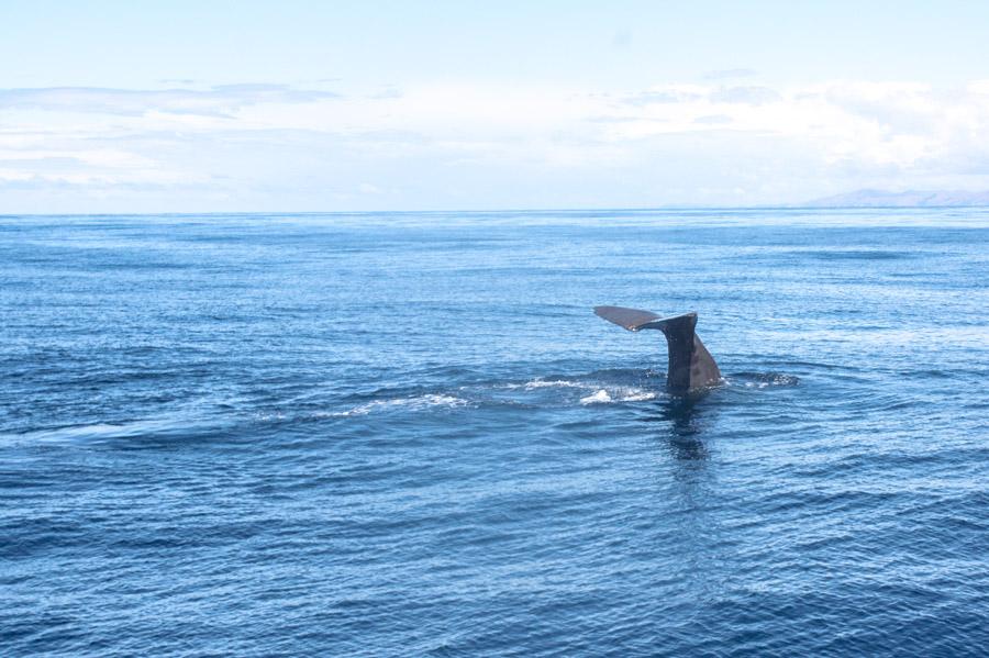 Whale Watching Kaikoura Südinsel Neuseeland