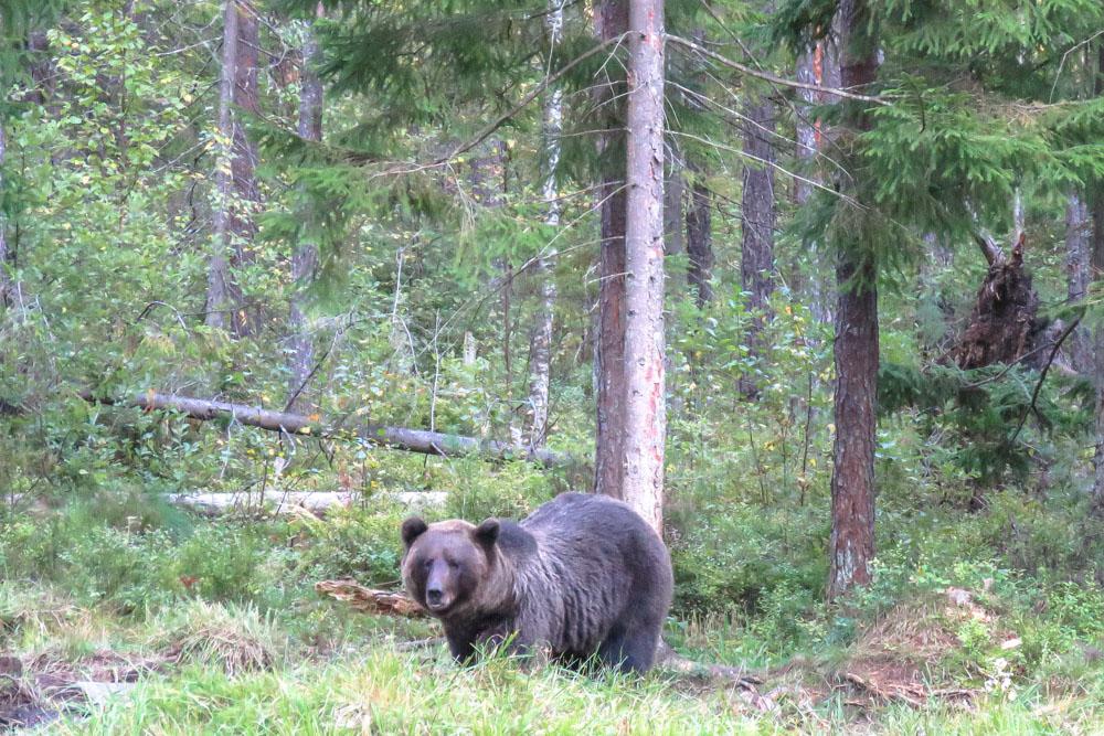 Braunbären in Alutaguse Estland