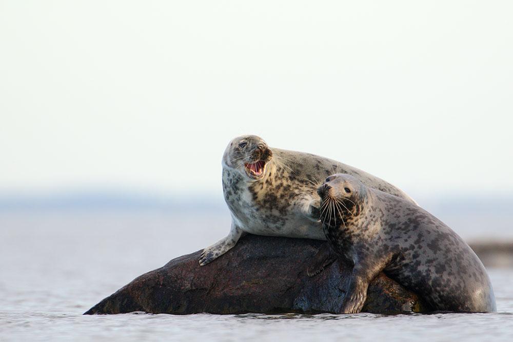 Seehunde Estland (Malusi Insel)