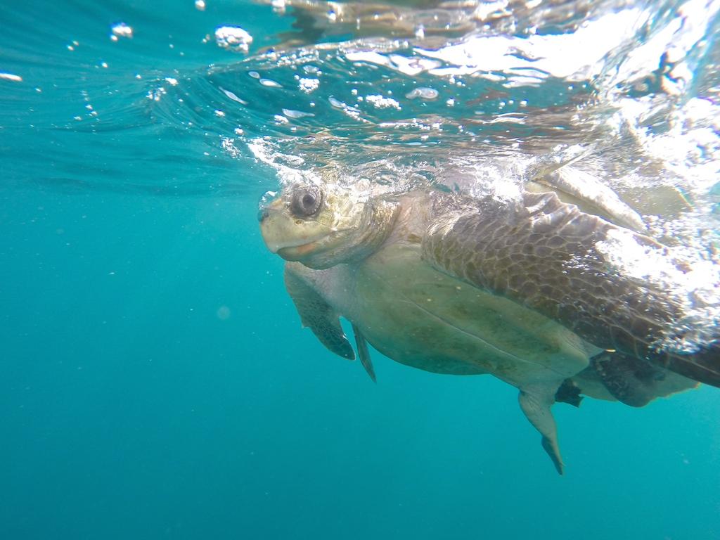 Schildkröten in Mexico , CHACAHUA