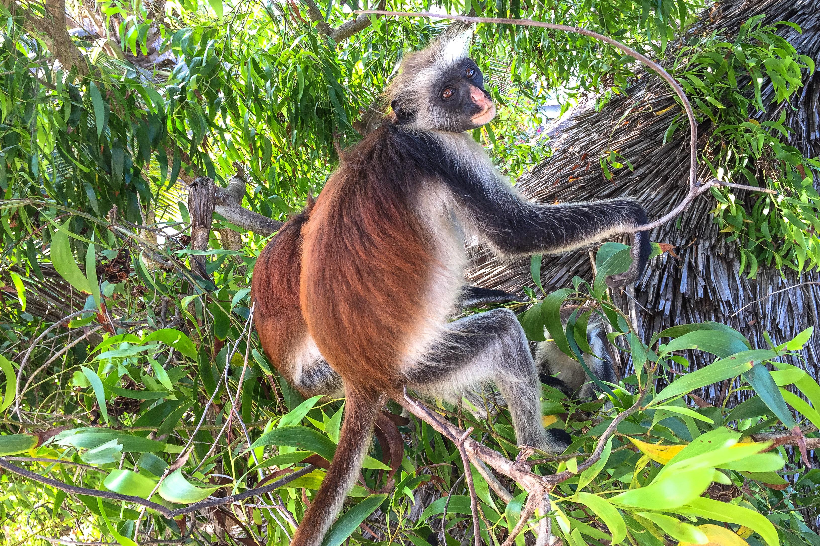 Affen in Sansibar