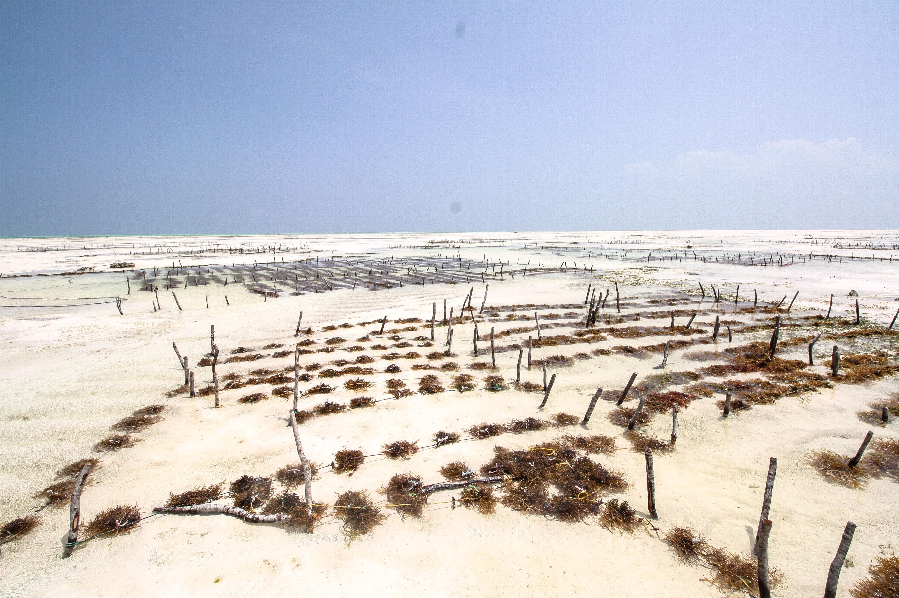 Eine Seegras-Farm in Jambiani, Sansibar