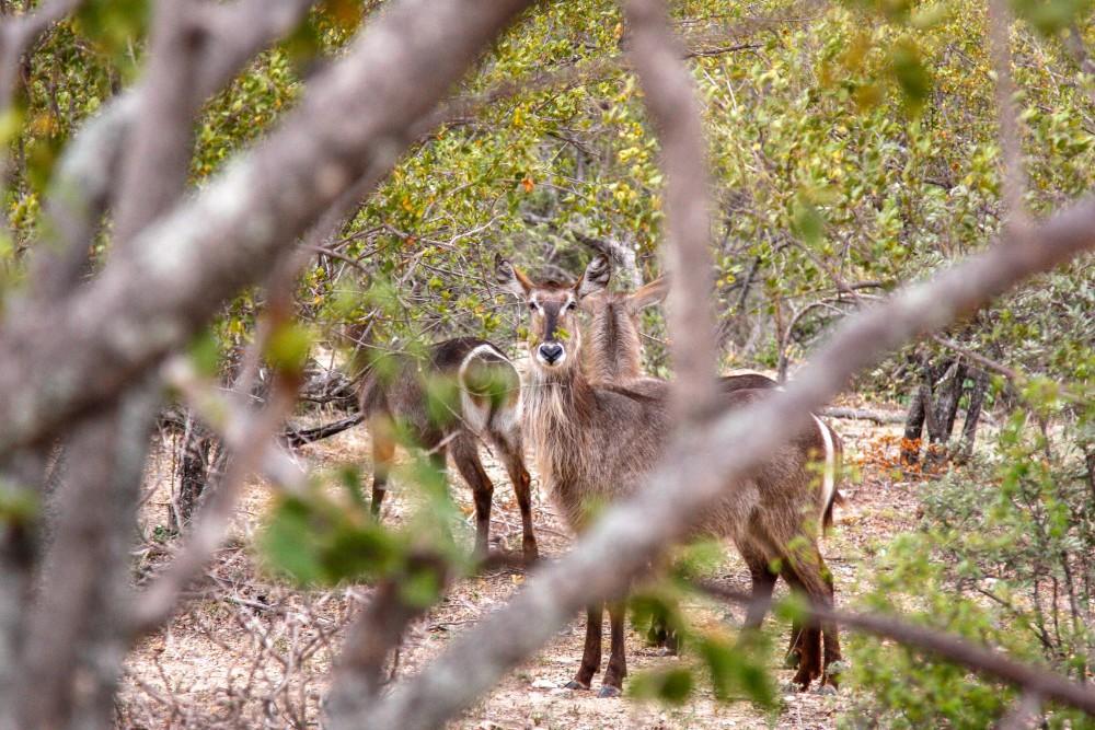 Balule Private Nature Reserve, Safari Südafrika
