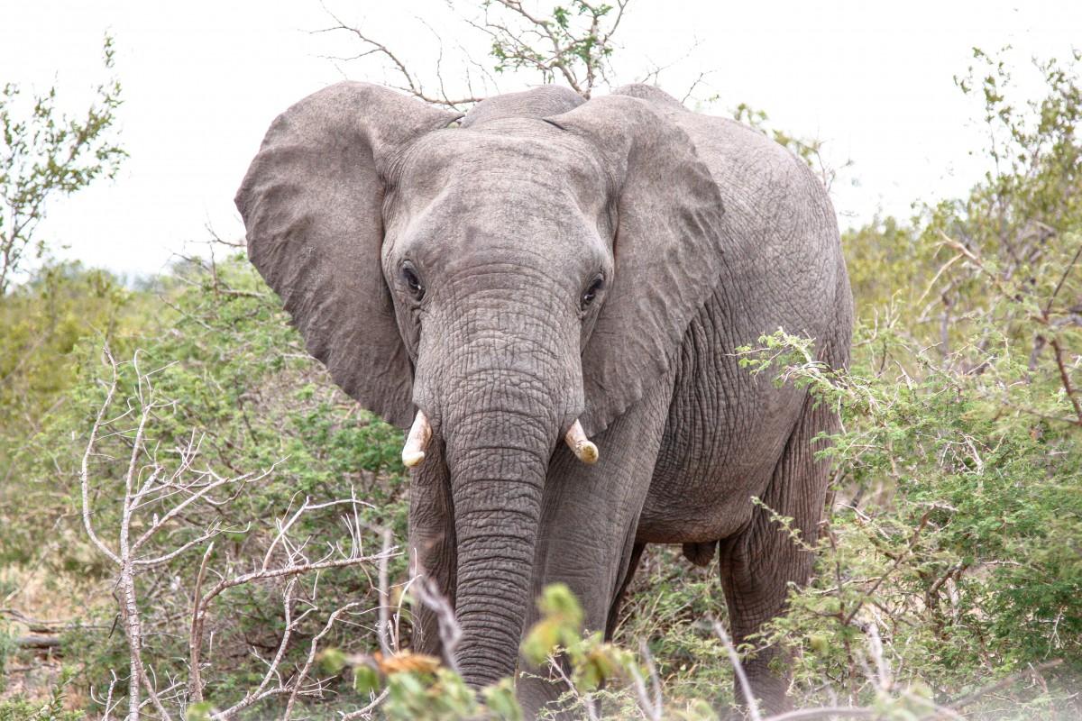 Safari in Südafrika, Elefanten