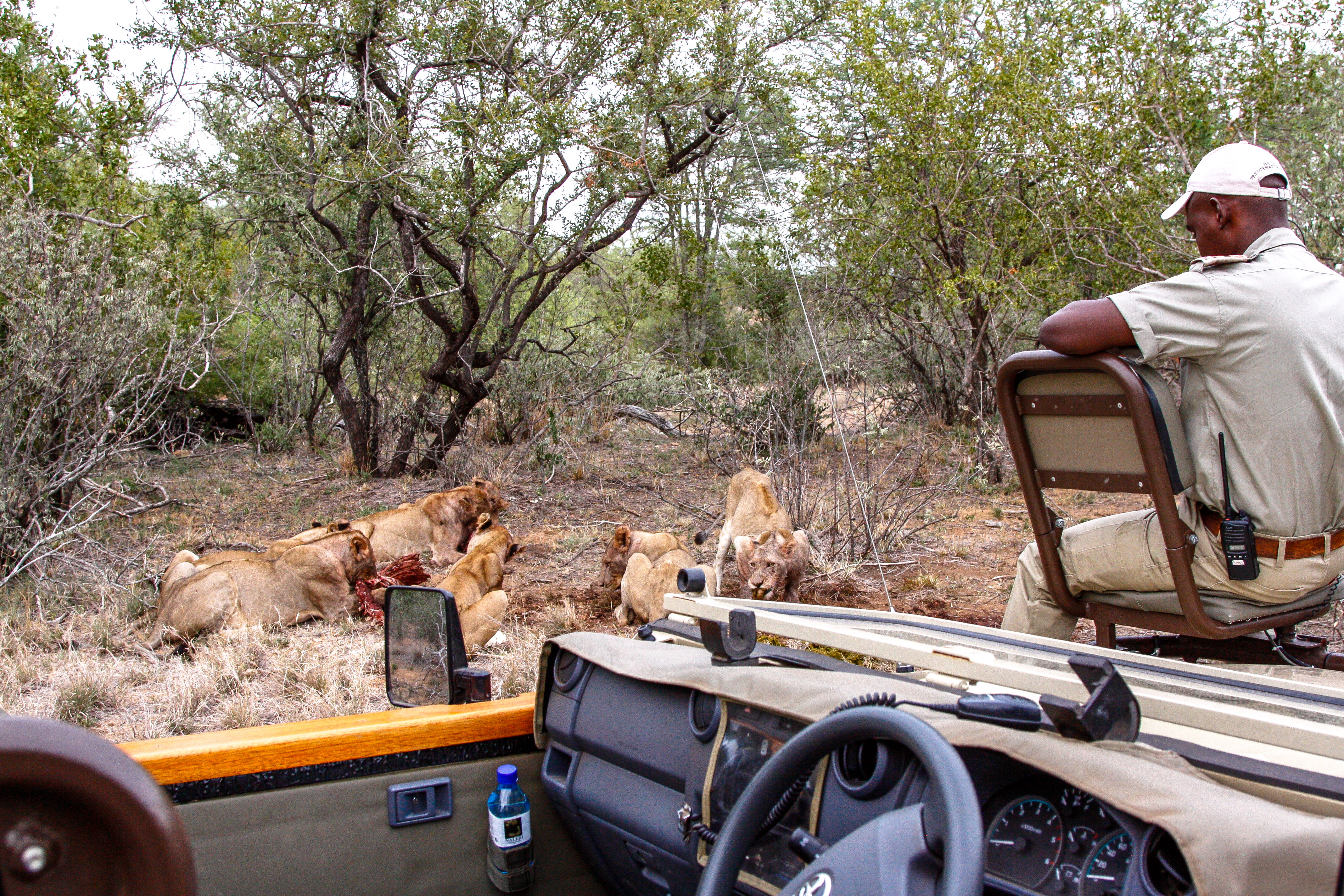 Auf Safari im Balule Game Reserve, Naledi Enkoveni Camp, Löwen, Opua & PRem