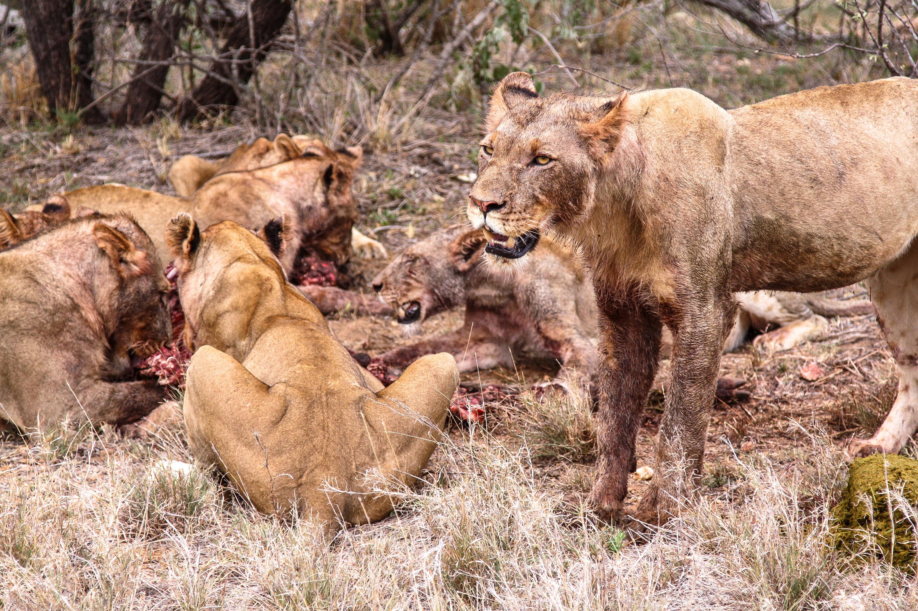 Safari im Balule Game Reserve, Naledi Enkoveni Camp, Löwen, Prem & Opua