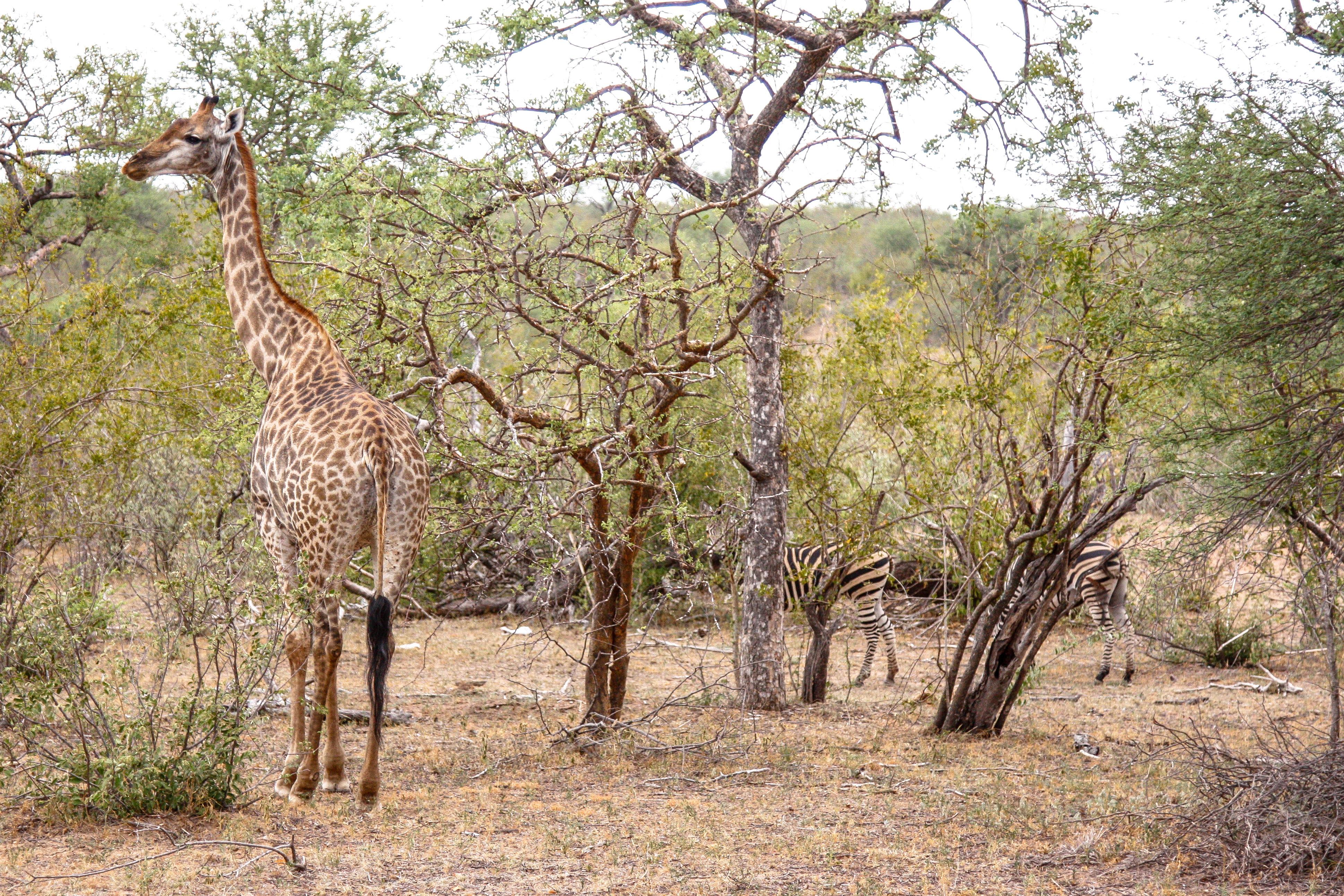 Südafrika: Giraffen und Zebras im Balule Game Reserve