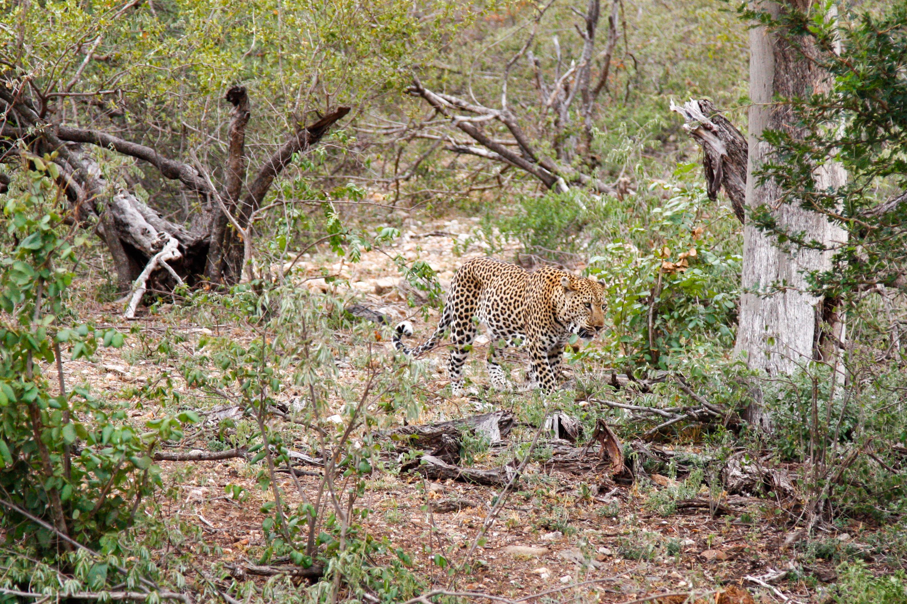Leopard im Balule Game Reserve, Safari mit der Naledi Enkoveni Lodge