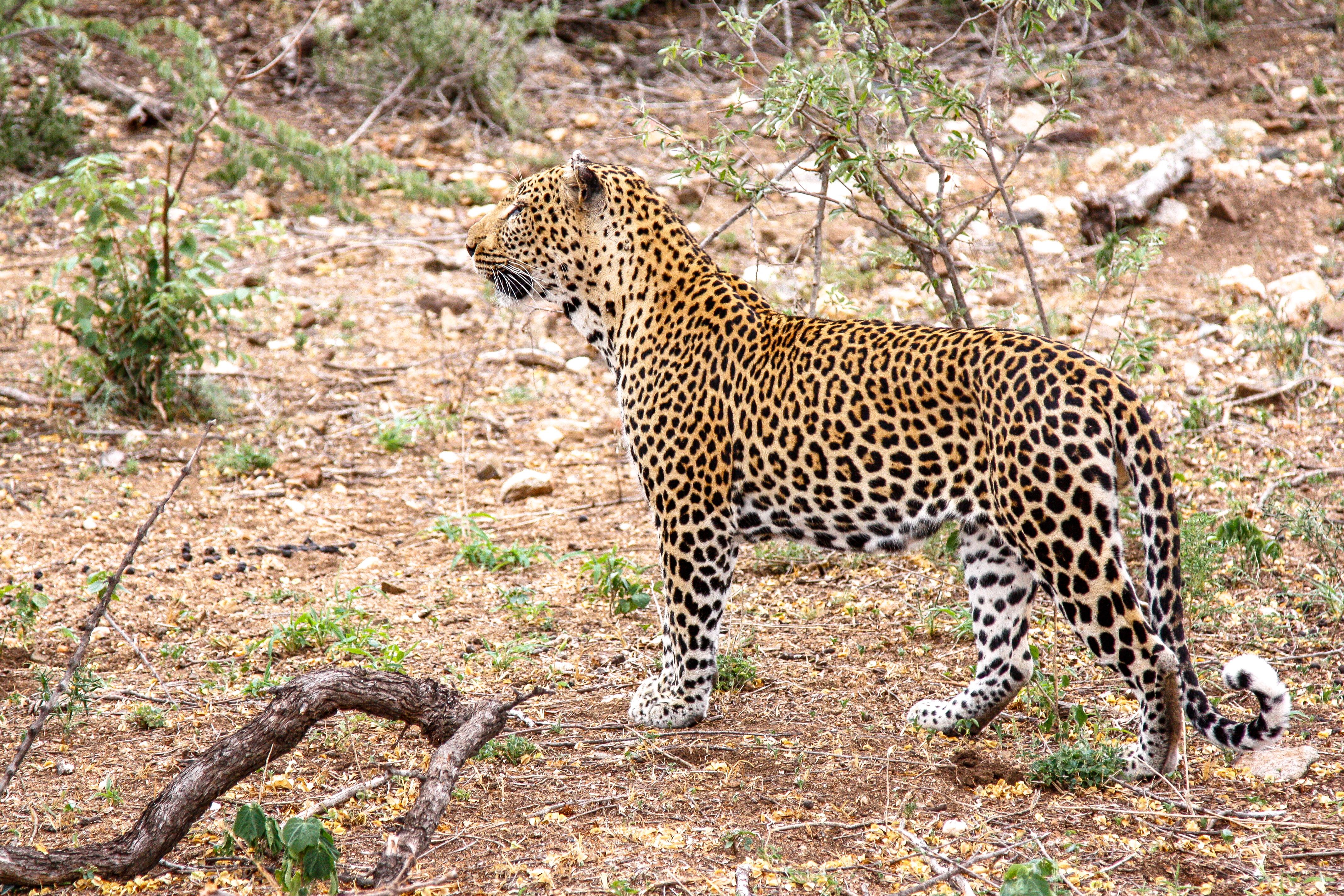 Leoparden im Balule Game Resercve, Naledi Enkoveni
