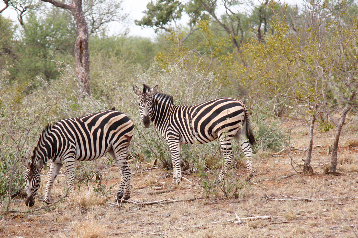Safari im Naledi Enkoveni Camp, Balule Game Reserve