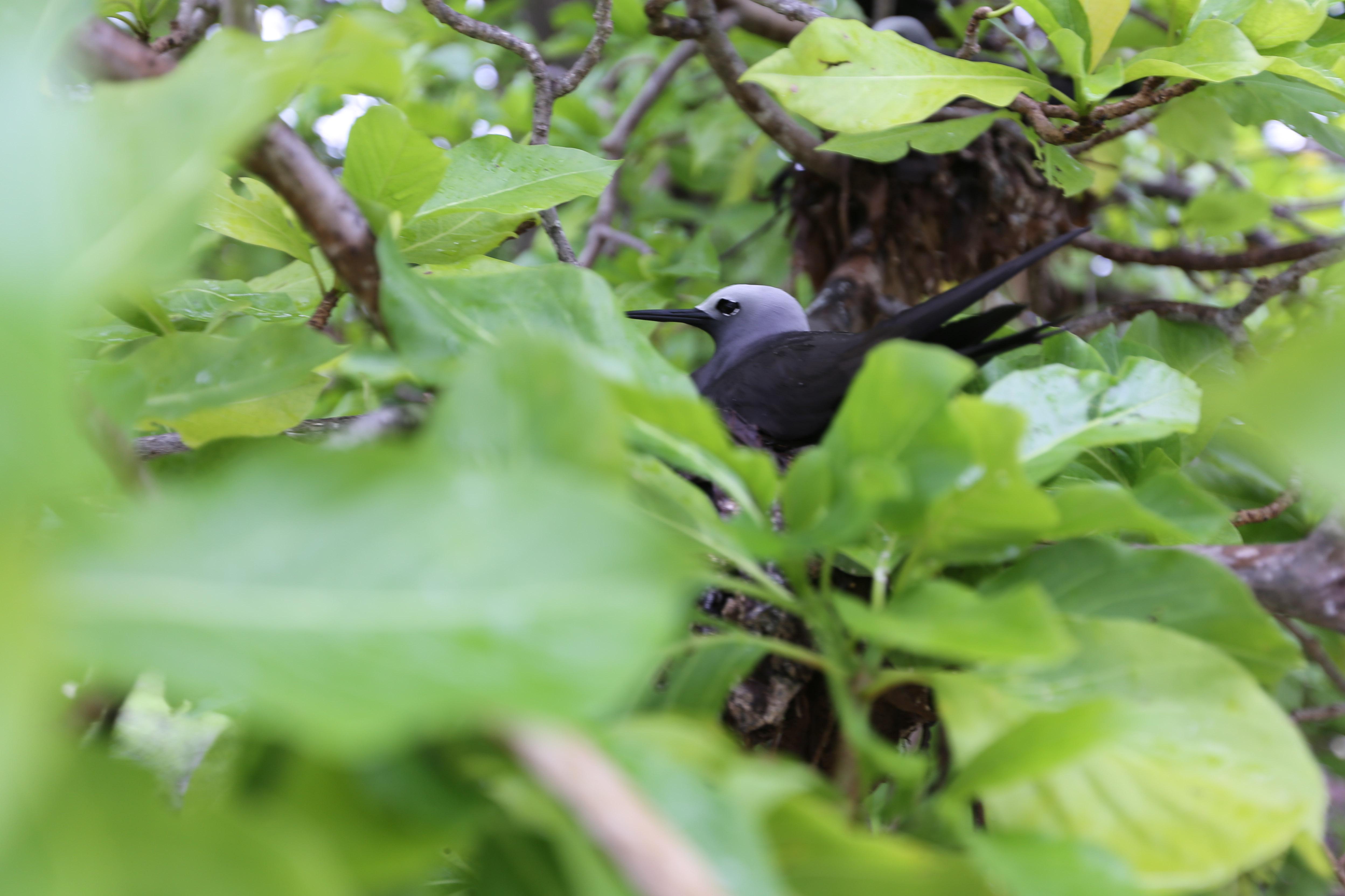 Noddis auf Bird Island