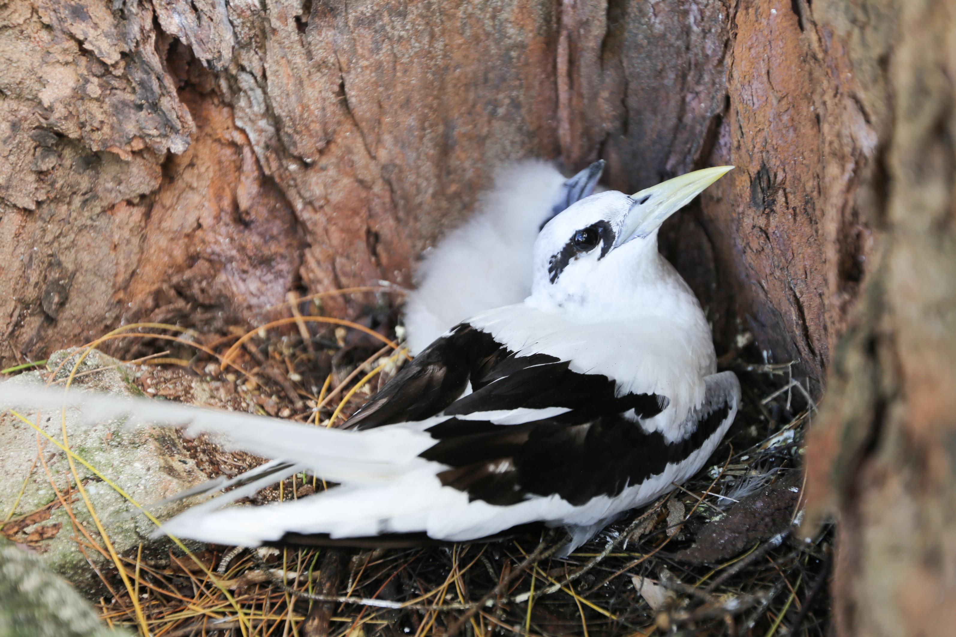 Weißschwanz-Tropikvögel auf Bird Island