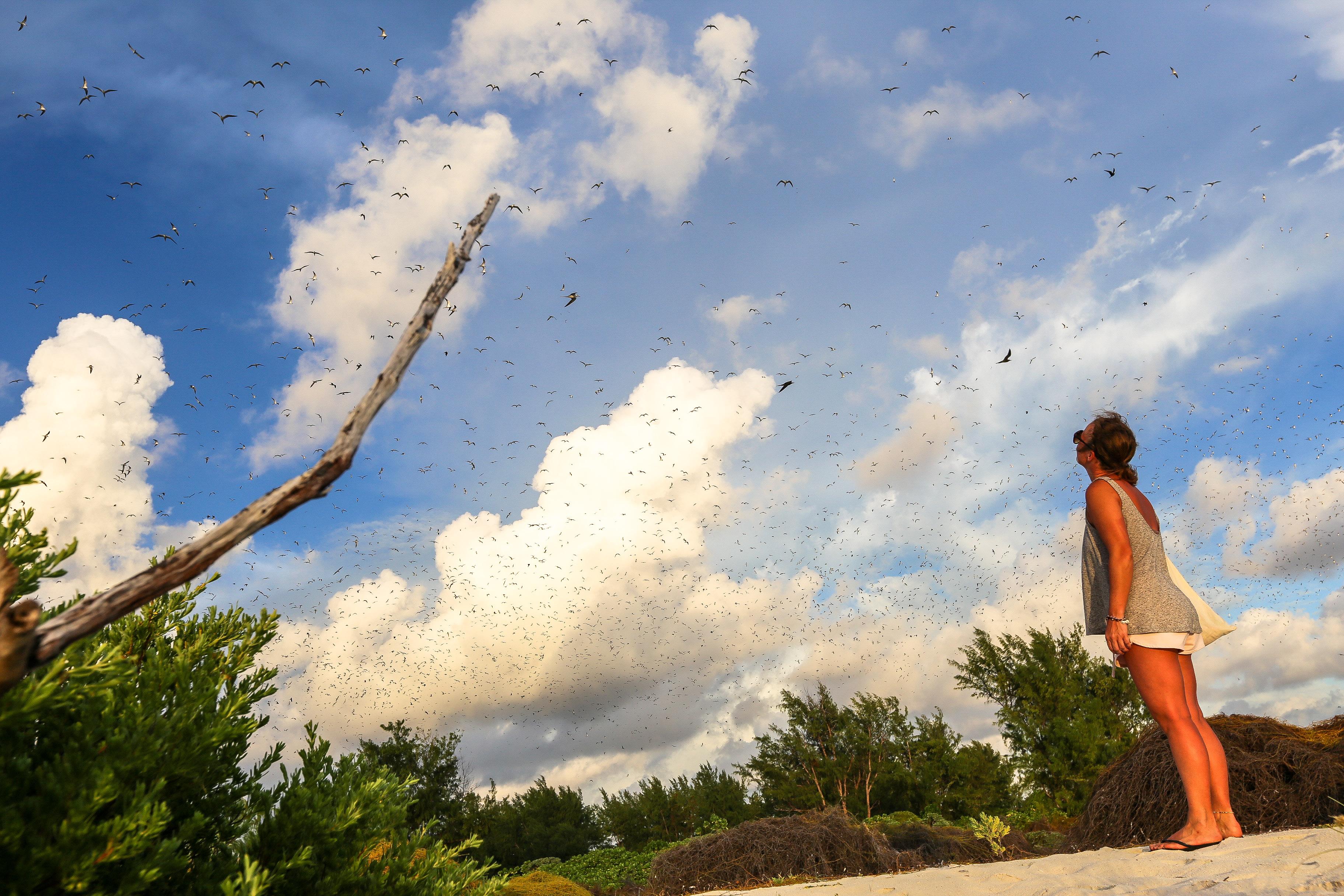 Rußseeschwalben (Sooty terns) auf Bird Island Seychellen.