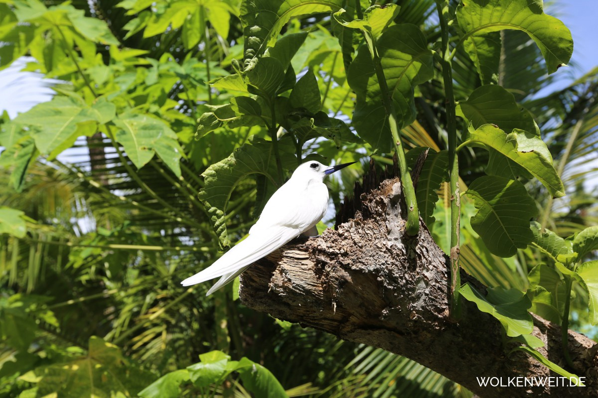 Fairy terns, Bird Island, Seychellen