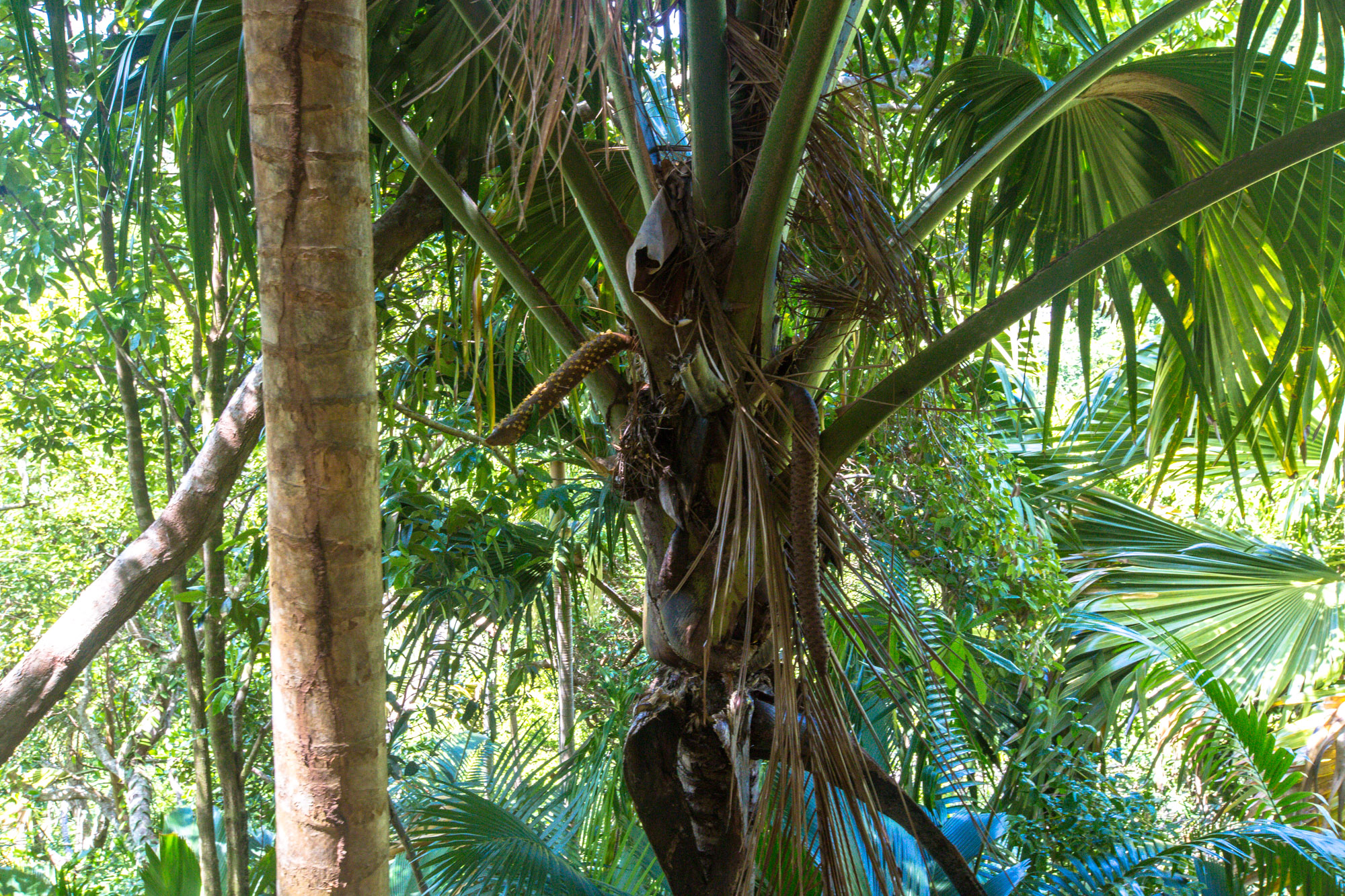 Coco de Mer, Fond Ferdinand Praslin Seychellen
