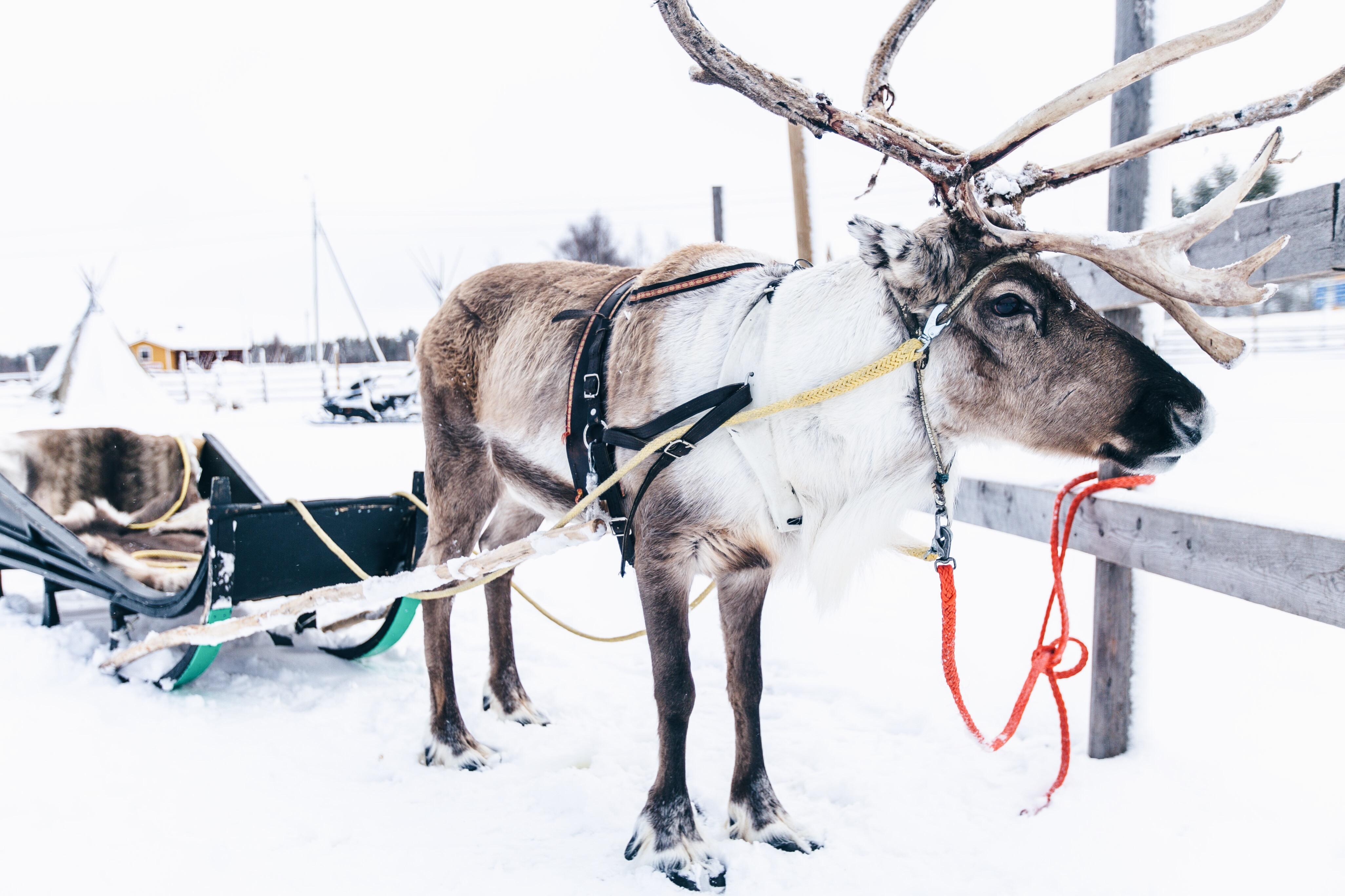 Rentiere in Levi, Lappland, Rentierschlitten fahren