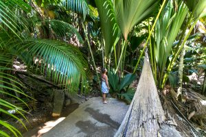 Coco de Mer, Seychellenpalme, Vallee de Mai, Praslin, Seychellen