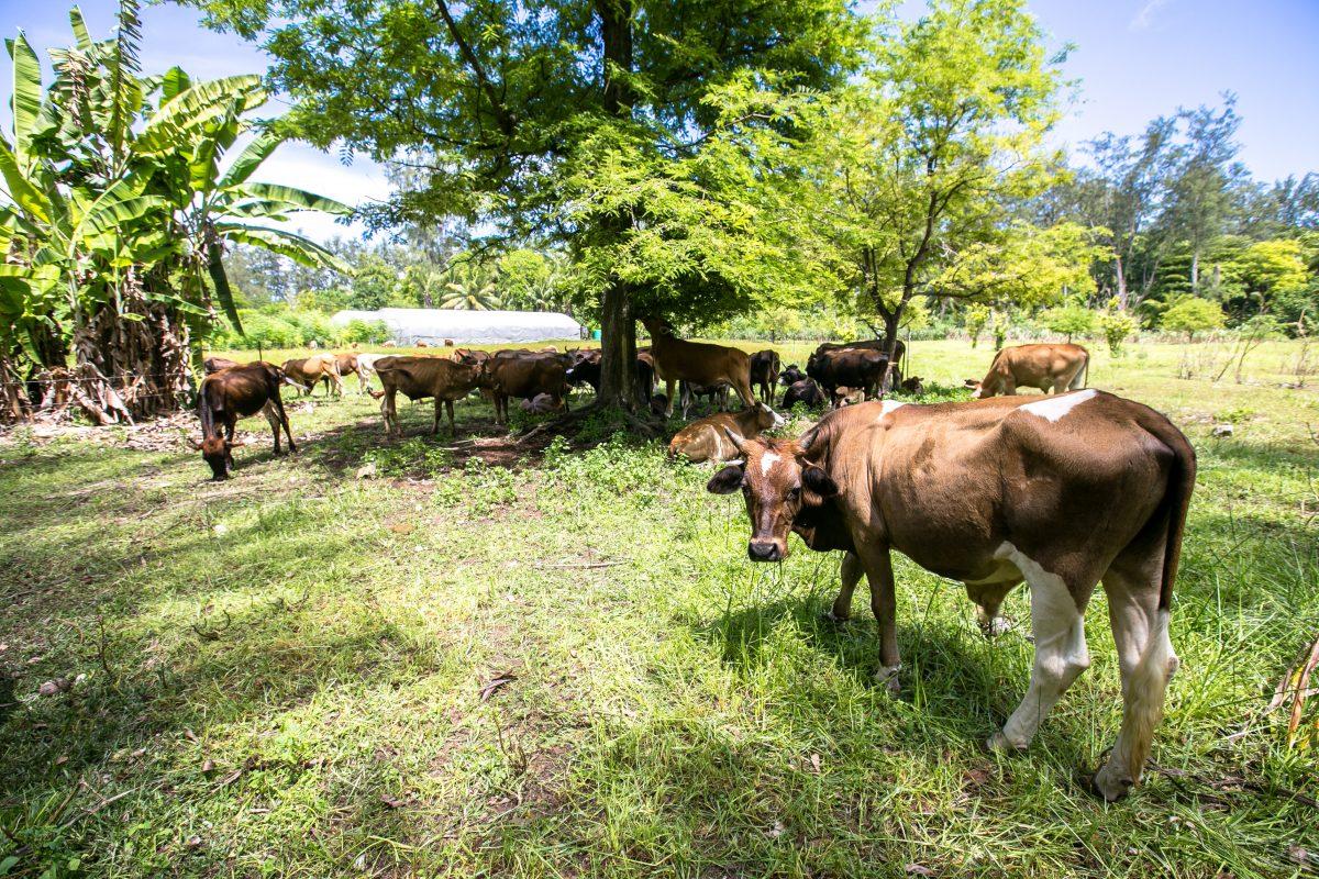 Denis Island Seychellen, Farm, Bio, Milchkühe, Insel