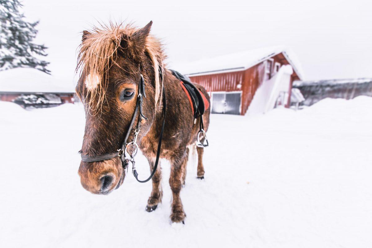 Finnland im Winter, Tipps, Koli Nationalpark, Ausreiten im SChnee, Islandpferde